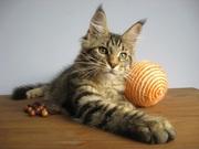 Маленькая рысь с добрым характером! Котята мейн-кун!