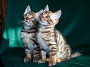 Продам в Астрахани бенгальских котят