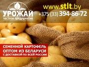 Семенной картофель из Беларуси оптом г. махачкала