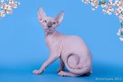 Котёнок сфинкс-маленький талисман.
